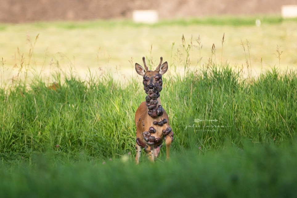 Deer with HPV. Minnesota photographer, Julie Carrow shared images of the deer who was covered in large tumors.
