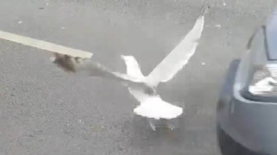 Man deliberately lures seagull into path of traffic
