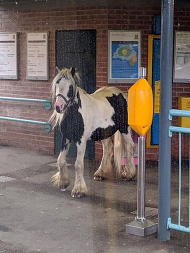 """Handout photo taken with permission from the Twitter page of Will Mapplebeck of a horse on the platform at Brockley Whins Metro station in South Shields. PRESS ASSOCIATION Photo. Picture date: Monday August 12, 2019. A Nexus spokesman said ?Brockley Whins is an unstaffed station so staff were sent out to deal with the incident. Before they got there a member of the public led the horse away and put it safely back into the nearby field that it had escaped from"""". See PA story RAIL Horse. Photo credit should read: Will Mapplebeck/Twitter/PA Wire NOTE TO EDITORS: This handout photo may only be used in for editorial reporting purposes for the contemporaneous illustration of events, things or the people in the image or facts mentioned in the caption. Reuse of the picture may require further permission from the copyright holder."""