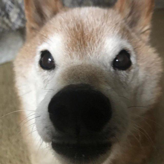 close-up of Chester the grumpy shiba inu dog