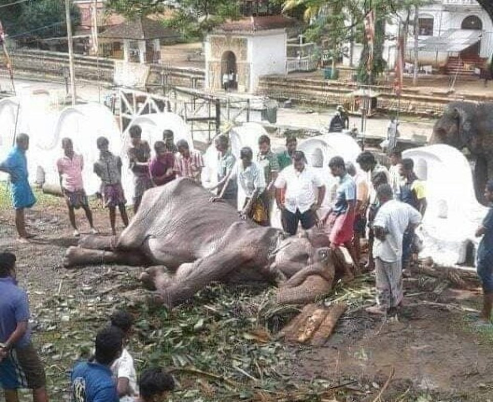 Starving elephant collapses from exhaustion after Esala Perahera