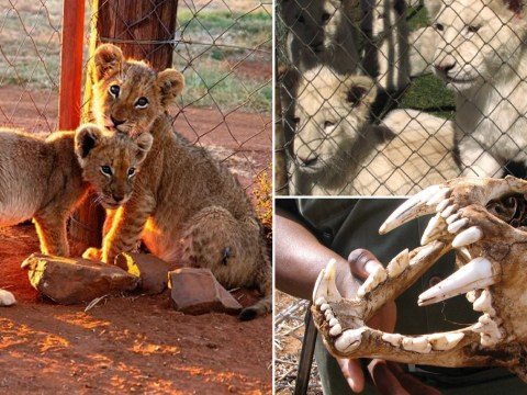 The lions whose fate is sealed from birth as they're bred just for hunting