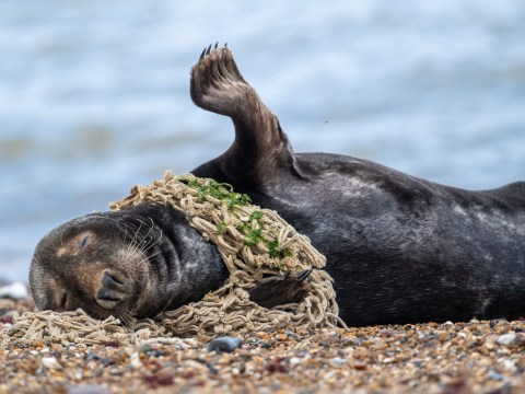 Seal struggles after getting stuck in plastic dumped in Norfolk