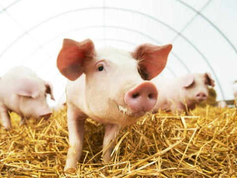 Pigs hearts could be transplanted into humans within just three years