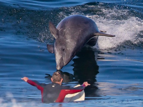 Dolphin goes surfing with humans then gets a little too close for comfort