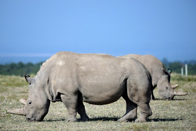 Najin (foreground), 30, and daughter Fatu, 19, two female northern white rhinos, the last two northern white rhinos left on the planet, graze in their secured paddock on August 23, 2019 at the Ol Pejeta Conservancy in Nanyuki, 147 kilometres north of the Kenyan capital, Nairobi. - Veterinarians have successfully harvested eggs from the last two surviving northern white rhinos, taking them one step closer to bringing the species back from the brink of extinction, scientists said in Kenya on August 23. Science is the only hope for the northern white rhino after the death last year of the last male, named Sudan, at the Ol Pejeta Conservancy in Kenya where the groundbreaking procedure was carried out August 22, 2019. (Photo by TONY KARUMBA / AFP)TONY KARUMBA/AFP/Getty Images