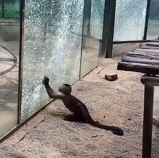 Pic Shows: The monkey breaking the glass at Zhengzhou Zoo, China; This viral video - with already seen more than 17 million times online - shows a tool-using monkey breaking its enclosure???s glass wall by repeatedly hitting it with a rock.