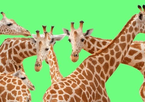 Giraffes are facing 'silent extinction' and humanity should be ashamed of itself
