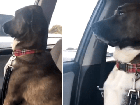 Huffing dog refuses to look at owner after she took him to vets for teeth cleaning