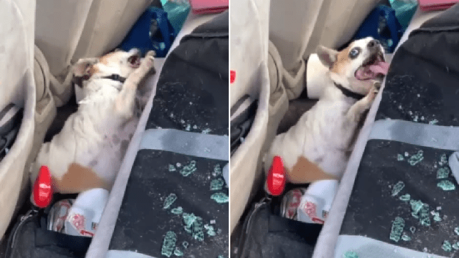 Photos of Pedro the dog convulsing just before being rescued from hot car