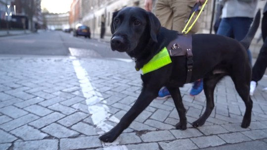 Oakey, a black labrador crosses the road. He is wearing a neon green harness and leads his handler.