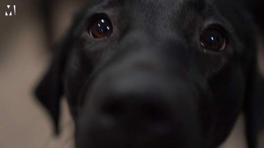 Oakey a black lab gets close to the camera and sniffs the lens.