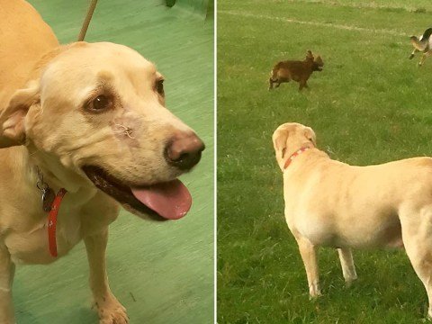 Bruey the labrador has lost 2.5 stone after he got a little chunky