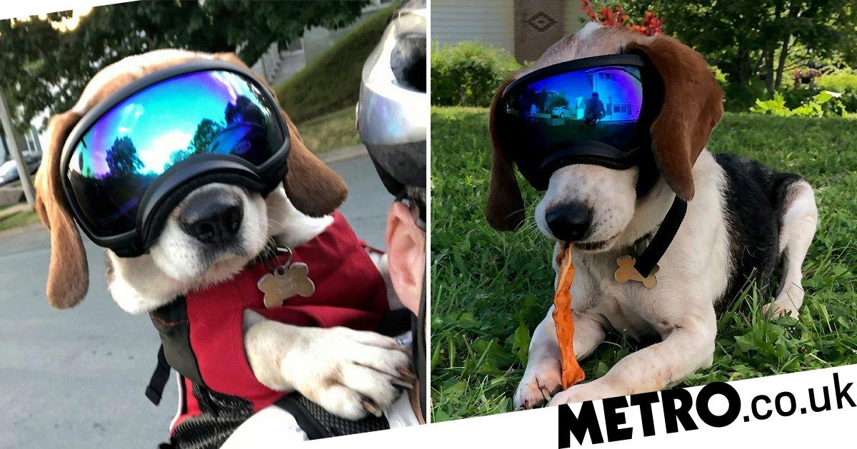 Frankie the beagle wears super cool doggles to go cycling with his human