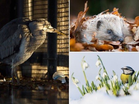 Stunning shot of heron peering through bars wins British Wildlife Photography Awards