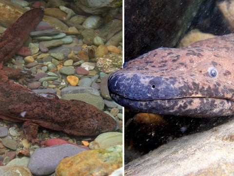Feast your eyes on the world's largest amphibian