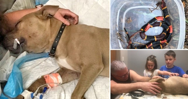 Zeus the pit bull puppy who died protecting his owner's children from a venomous coral snake