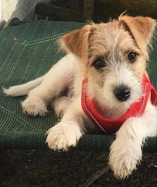 A puppy from an animal rescue charity in south Wales will be moving in to Downing Street with Prime Minister Boris Johnson later. The 15-week-old Jack Russell-cross, which has yet to be named, had been left abandoned by puppy farmers. It will move from Friends of Animals Wales in Rhondda, into the flat above No 11 Downing Street where Mr Johnson and his partner Carrie Symonds live. They were keen to promote Lucy's Law - a crackdown on puppy farms. The link between the couple and Friends of Animals Wales (FOAW) came through TV vet Marc Abraham who has worked with the charity's owner Eileen Jones.