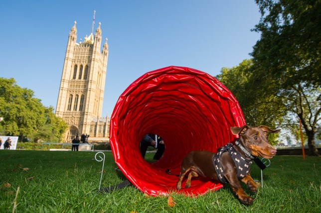 EDITORIAL USE ONLY Tiger, a Mini Dachshund belonging to Laurence Robertson MP during the 26th annual Westminster Dog of the Year competition, which was won by Boomer and Corona, belonging to Alex Norris MP. The competition is organised jointly by Dogs Trust and The Kennel Club at Victoria Tower Gardens, Westminster.