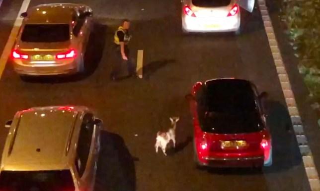 Goat causes traffic jam