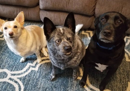 USA: Moose with his cnanine family. THIS ADORABLE pooch has parts of his brain missing, a crooked nose, and a huge underbite ? but he does have an ever-present smile and an owner who describes him as the ?happiest dog in the world?. Charming Moose, a three-year-old blue heeler or Australian Cattle Fog, was born with a deformed skull and several complications which only made themselves apparent after he was six months old. Faced with these difficulties, some dogs may have been abandoned by their owners or perhaps even put down. Fortunately for Moose, his squished brain and distinctive looks only ever made him more loveable in his owner?s eyes. Delightful photos of Moose show him as a tiny puppy with his striking, mismatched eyes; showing off his permanent grin; and donning a pair of novelty spectacles. Mediadrumimages/@MooseBoy16/JenniferOsborne