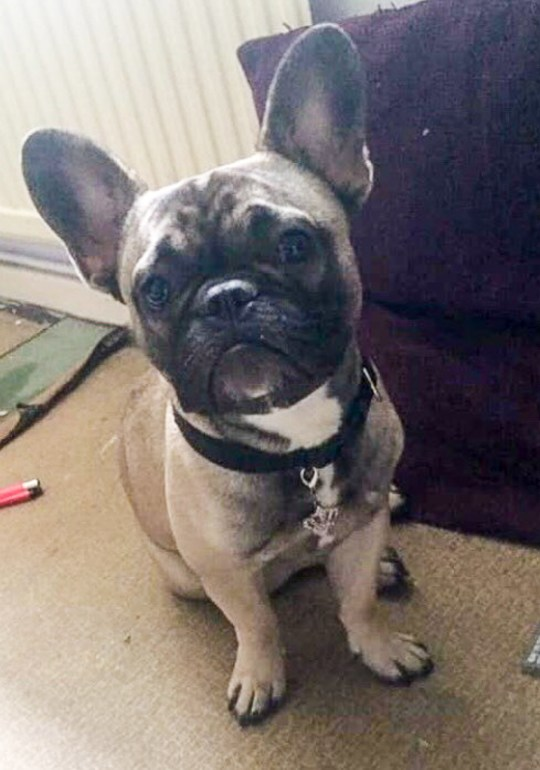 MERCURY PRESS. Stockport, UK. (Pictured: Winston, the nine month old French Bulldog that was stolen from Ayla Williamsons home in Stockport. ) An animal lover has been left heartbroken after dognappers ransacked her home to steal ONLY her ?2,500 designer pooch - after watching her take him out for walks. Ayla Williamson, 22, was horrified when thieves broke into her flat in Stockport, Manchester on Friday night and snatched beloved nine-year-old French Bulldog Winston. The burglars ignored everything else in the property, leaving a gold watch and other valuables, leaving Stacey convinced they targeted her home specifically for the pup. (SEE MERCURY COPY)