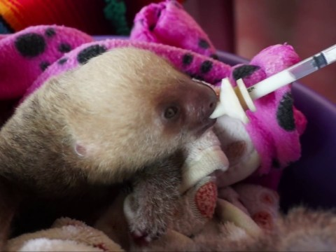 Meet the people who rehabilitate injured sloths at a rescue ranch in Costa Rica