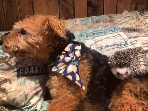 Welsh Terrier and hedgehog become best friends and help their owner tackle anxiety
