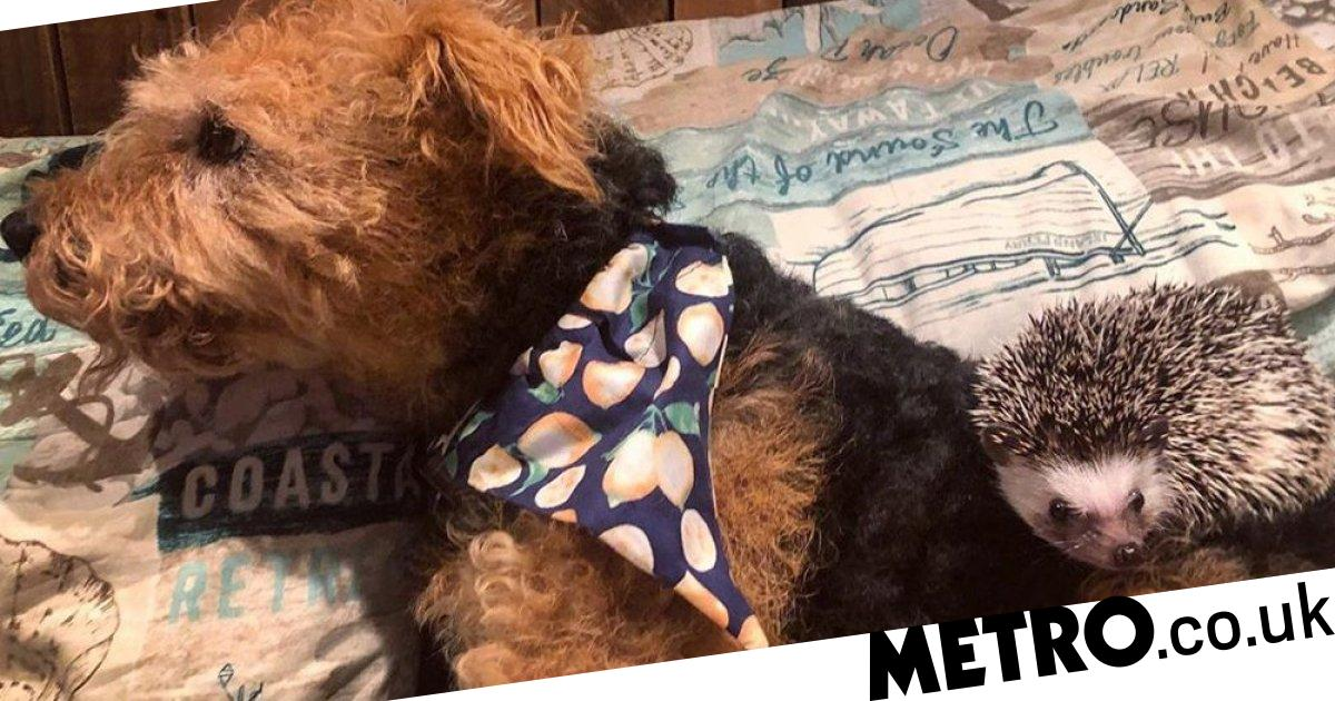 Dog and hedgehog become friends to help their owner with anxiety