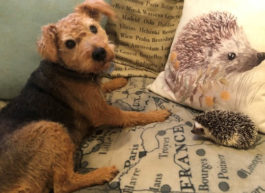 Olive and Rosie (PA Real Life/@olive_the_hedgehog_)