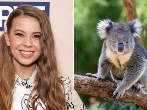 Bindi Irwin to walk down the aisle with a koala at Australia Zoo wedding