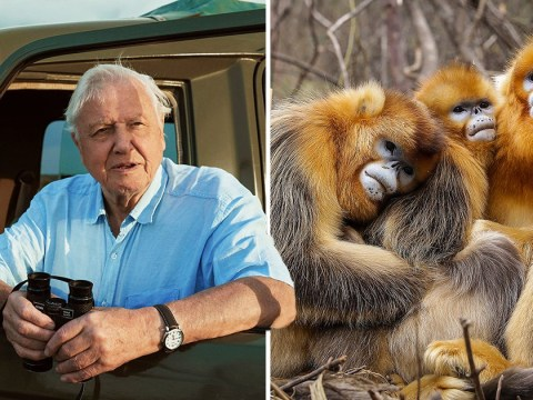 David Attenborough finally able to film monkey he's been waiting 50 years to find in Seven Worlds, One Planet