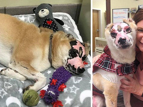 Shiba Inu burned in house fire training to be therapy dog for human burn victims