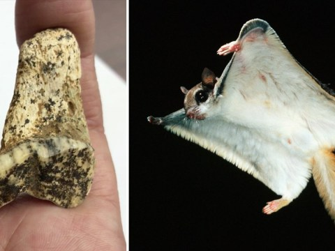 Remains of monster 5ft flying squirrel species found in Russian cave