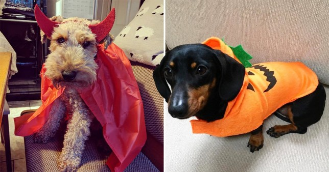 Rufus the Welshie and Lily the Dachshund dressed up for Halloween