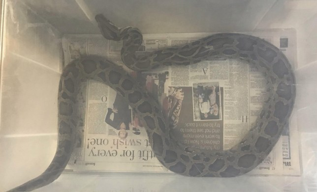 The RSPCA belive the snake may be a newly-purchased pet that was abandoned by its owner (Picture: RSPCA / SWNS)