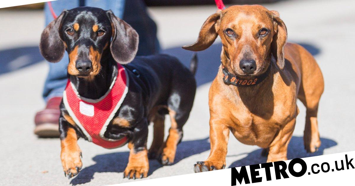 Alf the agoraphobic sausage dog will finally go outside thanks to new friend