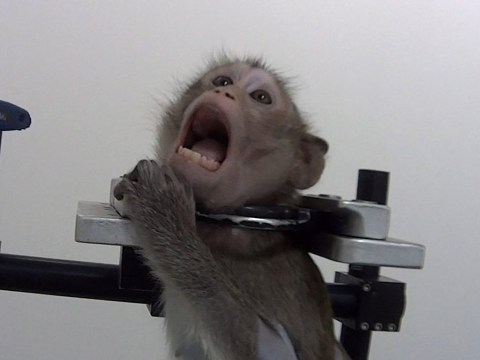 Horror lab that strapped screaming monkeys in metal harnesses to close