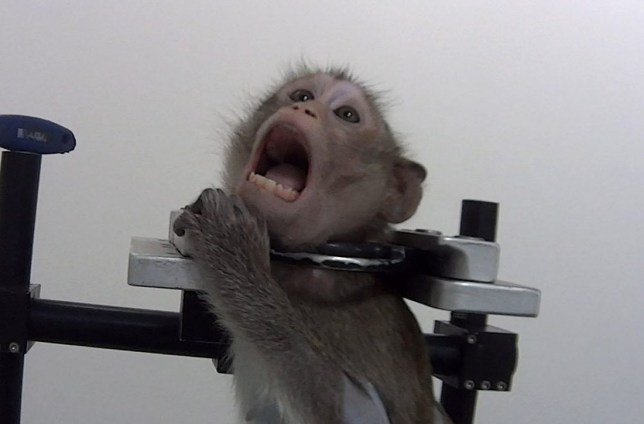 German lab that strapped screaming monkeys in metal harnesses to close