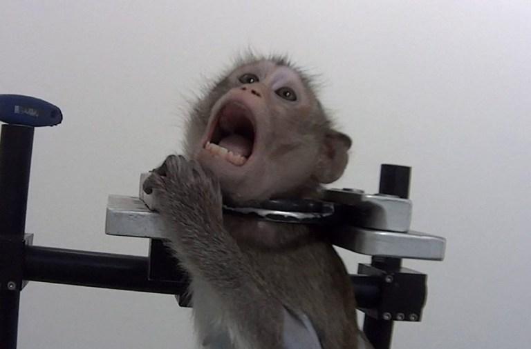 Dijerat Logam: Begini Kondisi Mengerikan Monyet Percobaan di Lab Jerman