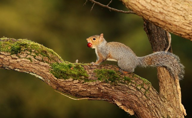 A squirrel climbs a tree having found a nut in the Phoenix Park, Dublin. PRESS ASSOCIATION Photo. Picture date: Friday October 18, 2019. Photo credit should read: Brian Lawless/PA Wire