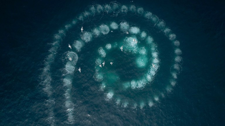 Using a feeding technique called 'bubble netting' the humpback whales blow bubbles as they rise up under a shoal of krill. The bubbles act like a net to the krill, and the whales spiral inwards to concentrate the swarm