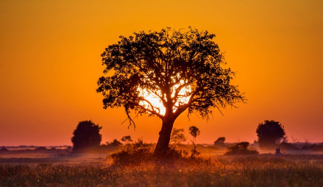 Tree at Sunset in Botswana. Okavango Delta. Africa