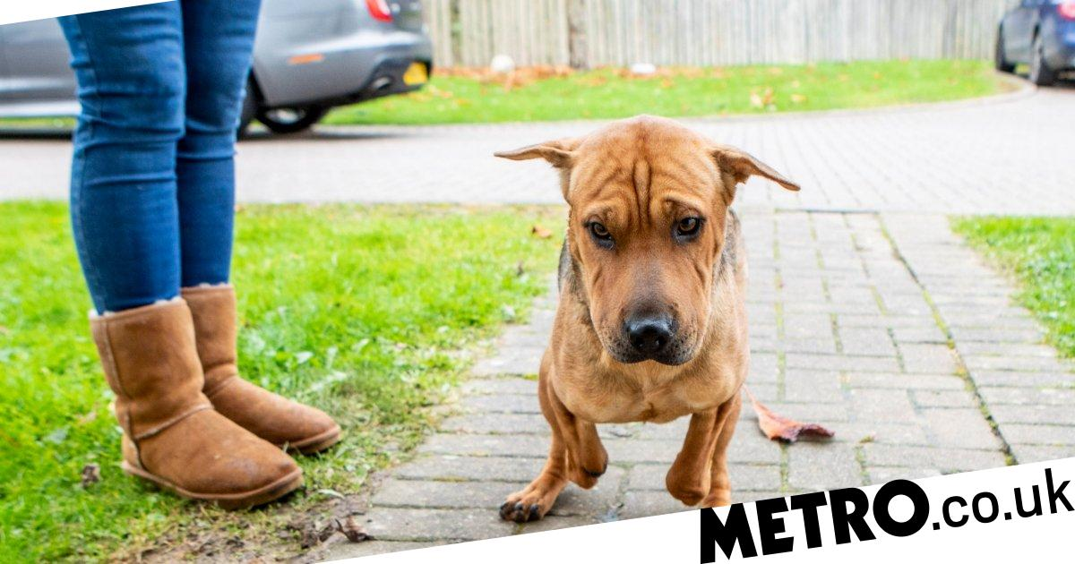 Dog who was found chained with front legs chopped off now in loving foster home