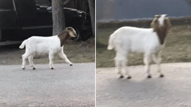 Goat, fairbanks Alaska.
