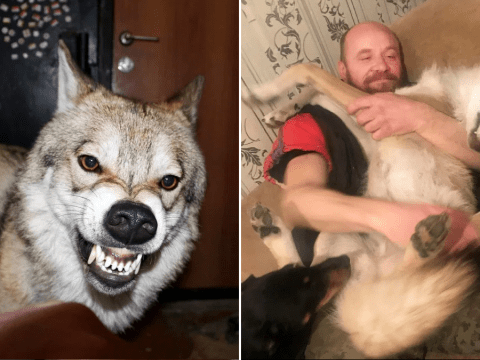 Family who keep pet wolf at home and he's very well behaved