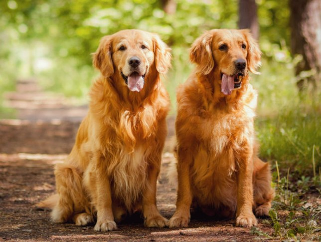 Two golden retrievers sat together on a path in a forest