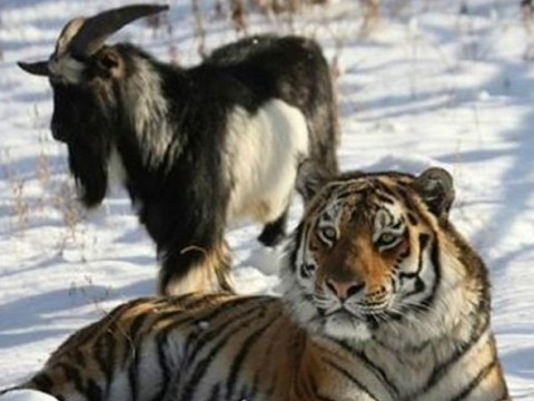How a brave billy goat and a Siberian tiger became best friends