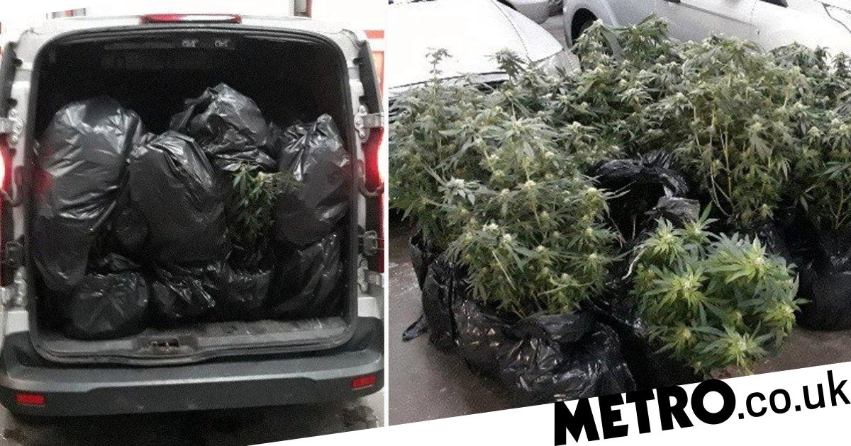 Forest of cannabis trees found stuffed in back of van trying to escape floods - Metro.co.uk