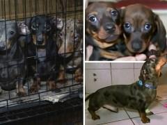 101 dachshunds seized in puppy breeding probe